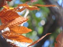 Foglie di autunno arancio prima che siano andati Fotografie Stock Libere da Diritti
