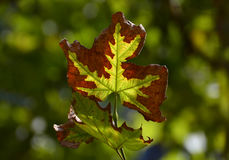 Foglie di autunno cambianti di colori Fotografia Stock