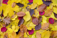 Foglie di autunno casuali Fotografia Stock