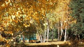Foglie di autunno che cadono dall'albero video d archivio