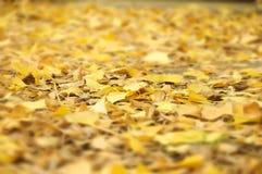 Foglie di autunno che cadono sul terreno delle foglie del ginkgo biloba Fotografia Stock