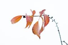 Foglie di autunno che rimangono sul brunch 4 della ciliegia Fotografia Stock