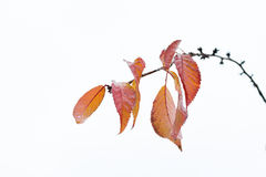 Foglie di autunno che rimangono sul brunch 3 della ciliegia Fotografie Stock Libere da Diritti