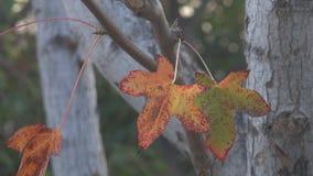 Foglie di autunno che soffiano su un albero archivi video