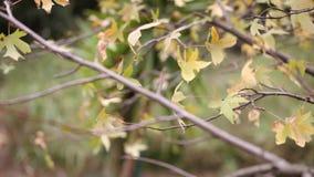 Foglie di autunno che soffiano in vento stock footage