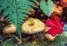 Foglie di autunno con i funghi e le felci Immagine Stock Libera da Diritti