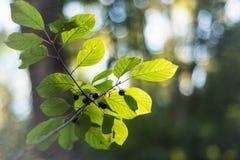 Foglie di autunno con il primo piano selvaggio di frutti fotografia stock libera da diritti