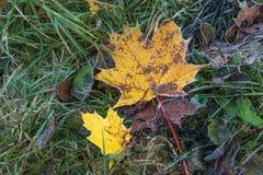 Foglie di autunno congelate nell'erba ghiacciata fotografie stock libere da diritti