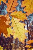 Foglie di autunno contro il sole immagini stock libere da diritti