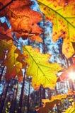 Foglie di autunno contro il sole fotografie stock