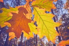 Foglie di autunno contro il sole fotografia stock