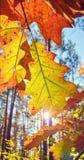 Foglie di autunno contro il sole immagini stock