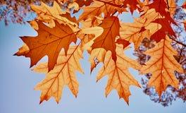 Foglie di autunno contro il sole fotografie stock libere da diritti