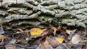 Foglie di autunno contro la corteccia di un albero fotografia stock