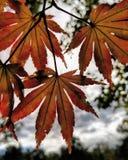 Foglie di autunno contro le nuvole fotografia stock