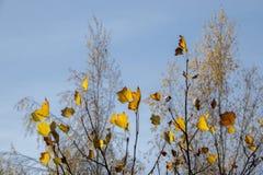 Foglie di autunno davanti alla betulla ed al cielo blu fotografie stock