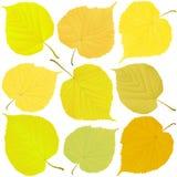Foglie di autunno del tiglio Fotografia Stock