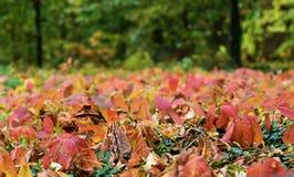Foglie di autunno dell'albero di acero giapponese Immagini Stock