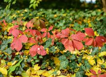 Foglie di autunno dell'albero di acero giapponese Immagine Stock