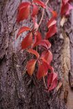 Foglie di autunno dell'uva e delle bacche selvatiche su vecchio fondo incrinato di legno Immagine Stock Libera da Diritti