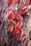 Foglie di autunno dell'uva e delle bacche selvatiche su vecchio fondo incrinato di legno Fotografia Stock Libera da Diritti