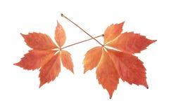 Foglie di autunno dell'uva isolata su bianco Immagine Stock Libera da Diritti