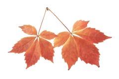 Foglie di autunno dell'uva isolata su bianco Immagini Stock Libere da Diritti