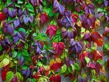 Foglie di autunno dell'uva selvaggia Fotografia Stock Libera da Diritti