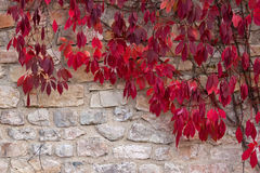 Foglie di autunno dell'uva sul muro di mattoni Immagini Stock Libere da Diritti