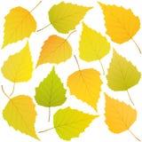 Foglie di autunno della betulla Fotografia Stock Libera da Diritti