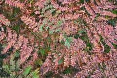Foglie di autunno della felce selvaggia Immagini Stock Libere da Diritti