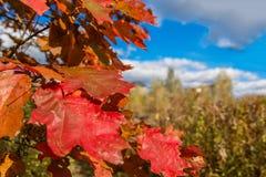 Foglie di autunno della quercia Fotografie Stock