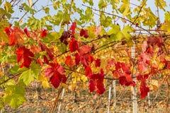 Foglie di autunno della vigna Fotografie Stock Libere da Diritti