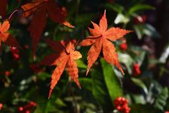 Foglie di autunno delle foglie di acero Fotografia Stock