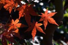 Foglie di autunno delle foglie di acero Fotografia Stock Libera da Diritti