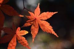 Foglie di autunno delle foglie di acero Immagine Stock Libera da Diritti