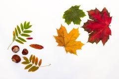 foglie di autunno delle forme, delle dimensioni e dei colori differenti su un fondo bianco Immagini Stock