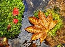Foglie di autunno, di rosso e di giallo sugli srones del muschio, fiume selvaggio immagini stock