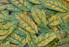 Foglie di autunno di verde giallo Fotografia Stock Libera da Diritti