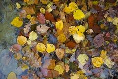 Foglie di autunno differenti in acqua, sfondo naturale variopinto Immagini Stock Libere da Diritti