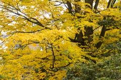 Foglie di autunno dorate nella caduta con i rami neri Fotografia Stock