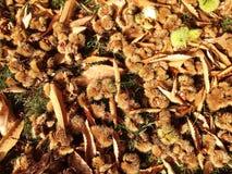 Foglie di autunno e dei Conkers Fotografia Stock