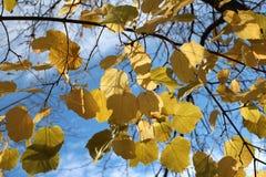 Foglie di autunno gialle contro il chiaro giorno del cielo blu luminoso fotografie stock libere da diritti