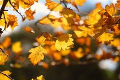 Foglie di autunno gialle d'ardore su fondo scuro immagine stock