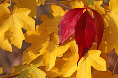 Foglie di autunno gialle e rosso colorate ricche fotografia stock libera da diritti