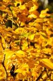 Foglie di autunno gialle luminose in foresta Immagine Stock
