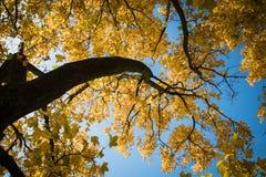 Foglie di autunno gialle retroilluminate fotografie stock libere da diritti