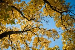 Foglie di autunno gialle retroilluminate contro cielo blu immagine stock libera da diritti