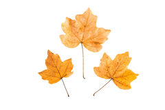 Foglie di autunno gialle su fondo bianco Fotografia Stock