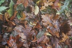 Foglie di autunno inzuppate Fotografia Stock